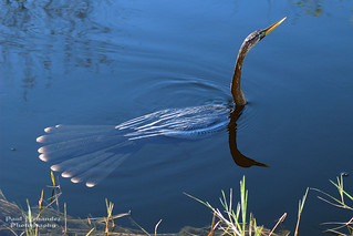 Anhinga Swimming the Waters of Shark Valley, Everglades National Park