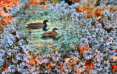 Flowers Off a Ducks Back (Rusty Russ) Tags: flowers summer color tree water forest photoshop yahoo duck google nice flickr day bright image surround montage wierd layer newsroom hue manipulate fantesy