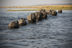 20090903 Chobe 035 (blogmulo) Tags: africa park travel parque elephant water rio fauna canon river agua raw crossing wildlife viajes national lina botswana herd nacional chobe f28 elefante manada canon70200 canon450d blogmulo