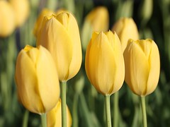 Tulips (donsutherland1) Tags: flowers ny newyork nature yellow spring tulips bokeh blossoms bloom april buds 1001nights mamaroneck flickraward flickrdiamond flowerwatcher natureselegantshots mimamorflowers awesomeblossoms saariysqualitypictures updatecollection thebestofcengizsqueezeme2groups fleursetpaysages flickrsportal