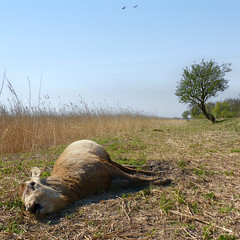 Spring came too late for this Red Deer (Bn) Tags: animal dead nationalpark topf50 carrion survival carcass lelystad almere seaeagle circleoflife oostvaardersplassen staatsbosbeheer whitetailedeagle kadaver liveandletdie 50faves natuurbeheer grotegrazers largecarnivores whitetailedeagles winterstarvation withoutsupplementalwinterfeeding doodedelhert carcassofadeadanimal thehardnaturelife deathreddeer dutchnaturereserveoostvaardersplassen