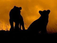 Lion Cub Silouettes .....