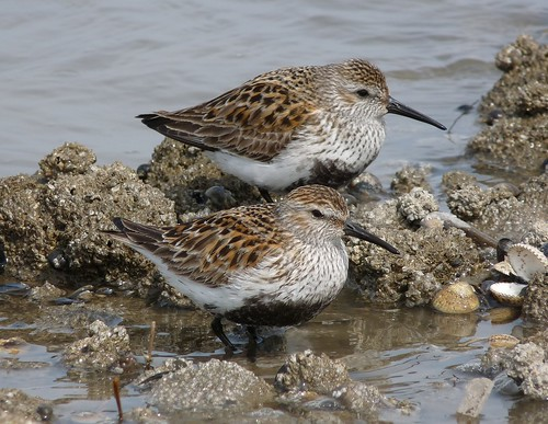 12345 - Dunlin on Whitford Beach
