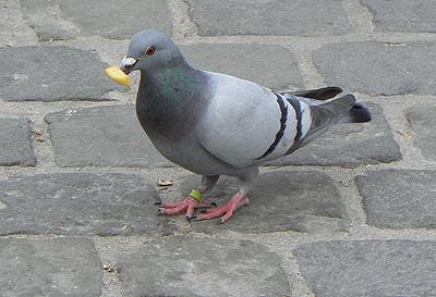 pigeon belge.jpg