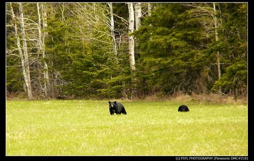 American Black Bears (Ursus americanus)