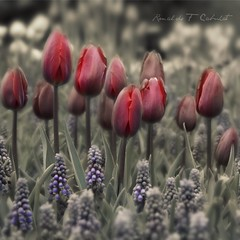 Couleur Cardinal Tulips and Muscaris (Ronaldo F Cabuhat) Tags: travel flowers red vacation inspiration macro art love nature colors beautiful beauty closeup sepia canon garden photography hope photo spring interesting scenery colorful exposure tulips image artistic bokeh glory faith arts creative picture visit scene creation photograph imagination inspire picnik selectivecolor grapehyacinth tiltshift idream couleurcardinal canonefs1755mmf28isusm canoneos50d albanytulipfestival cabuhat corelpaintshopprox3