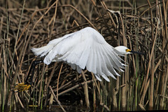 Snowy Egret takes off (dcstep) Tags: urban usa colorado flight urbannature snowyegret cherrycreekstatepark wimberleysidekick pixelpeeper canon7d ef500mmf4lis ef14xtcii induroc414carbonfibertripod induroc414tripod arcaswissz1ballhead 4302010