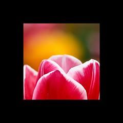 Zur Abwechslung … (fraghorst) Tags: flower tulip blume tulpe
