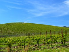 21st Century Bliss (Tony Immoos) Tags: california lighting blue windows sky sunlight sunshine clouds landscape vineyard spring scenic vivid landmark olympus hills footsteps sonomacounty e3 bliss circularpolarizer grapevines 20000views hwy12 californialandscape zd 1260mm olympuse3 windowsxpbliss