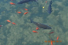 Fish/Ducks Big Spring Park (King Kong 911) Tags: park fish water birds spring big bell eating ducks becon