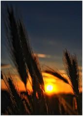 Espigues a contrallum (Apallalu) Tags: camp backlight contraluz campo trigo contrallum espigues