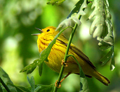 Yellow Warbler (William  Dalton) Tags: bird birds yellow warbler yellowwarbler dendroicapetechia yellowbird interlakennewjersey northernparulawarbler explore141 warblersinging yellowwarblersinging