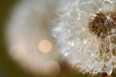 Pusteblume (16) / blowball (Ellenore56) Tags: light inspiration plant flower color colour macro reflection nature water floral rain garden licht photo drops spring flora wasser foto rainyday sony magic natur pflanz