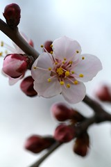 Peach flower (rich indulge) Tags: pink tree nature blossom pollen peachflower