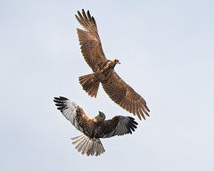 Displaying  Marsh Harriers (Andrew Haynes Wildlife Images ( away for a while )) Tags: bird nature display wildlife norfolk flight nwt raptor harrier marshes cley cleymarshes canon7d ajh2008 birdguidesnotable
