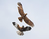Displaying  Marsh Harriers (Andrew Haynes Wildlife Images) Tags: bird nature display wildlife norfolk flight nwt raptor harrier marshes cley cleymarshes canon7d ajh2008 birdguidesnotable