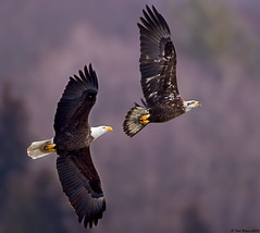 Cradle Robber (Todd Ryburn) Tags: birds animals eagle wildlife baldeagle iowa raptor mississippiriver eagles raptors 2010 baldeagles lockdam14
