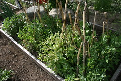 pea patch