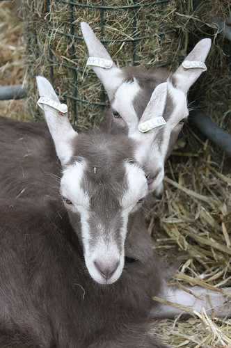 Toggenburg goat kids in formation