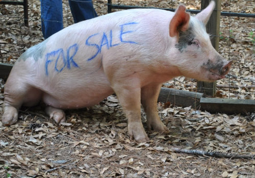 Pig-for-Sale