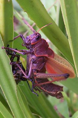Freshly molted lubber grasshopper