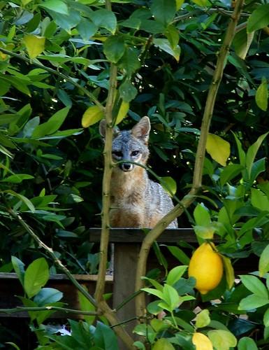 fox1 lila lippow, mtz
