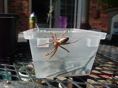 Fishing spider 02