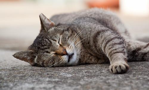 フリー写真素材, 動物, 哺乳類, ネコ科, 猫・ネコ, 寝顔・寝ている,