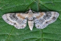 1816-DSCN0433 Toadflax Pug (Eupithecia linariata) (ajmatthehiddenhouse) Tags: 2009 moth kent garden toadflaxpug eupithecialinariata eupithecia linariata geometridae larentiinae stmargaretsatcliffe uk