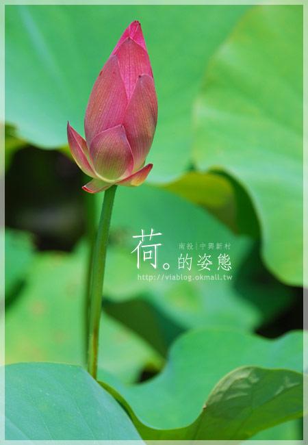 【2010賞荷】南投中興新村~荷花(蓮花)池準備盛放!4