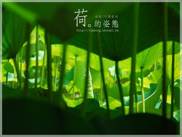 【2010賞荷】南投中興新村~荷花(蓮花)池準備盛放!21