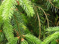 Looking Through Needles (fewstingscorpio) Tags: seattle plants macro tree green texture nature yard garden spring bush backyard bright outdoor branches vivid sensational needles blooming backyardgarden treeneedles
