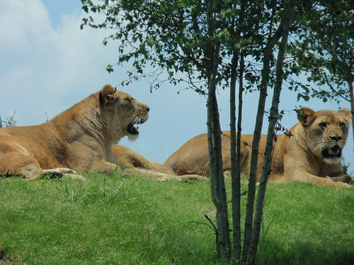 Lions getting some sun