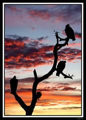 Buitres. / Vultures.