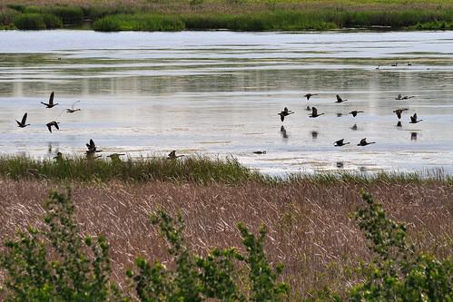 Swan chasing lots of geese DSC_2361