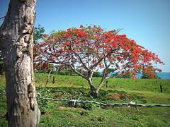 Can you meet me halfway? (d'pegasus) Tags: red flower tree puerto puertorico rico flamboyan