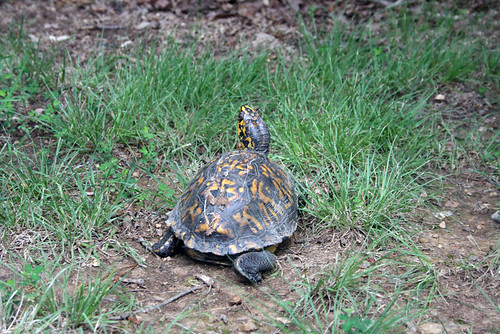 Still the same turtle, this time viewed from behind.  From this angle, you have a fetching three-quarters view of her face as she keeps an eye on the photographer.  You can also see that her tail is tucked to one side, which marks her as probably female.  Another charming detail visible from this angle are the two yellow racing stripes that run down each black back leg.