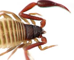 Pseudoscorpion Texture (zxgirl) Tags: bug arachnid flash bugs arachnids animalia arthropoda arachnida s5 pseudoscorpion dcr250 raynox pseudoscorpions img3393 bookscorpion pseudoscorpionida dromopoda falsescorpion
