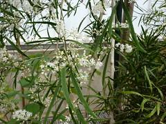 Asparagus falcatus (Sophie Leguil) Tags: flowers brussels garden botanical belgium jardin asparagus botanique meise falcatus