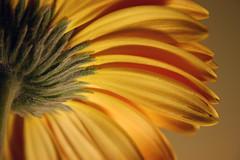 SunBrella (MarietteDodd) Tags: flower yellow garden flora petal gerbera