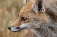DSC_5752b (goierritarra1) Tags: fox euskalherria navarra nafarroa bardenas bardeak 70300mmvr nikond300 tc20ii