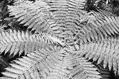 fern tree (HeidiFischer) Tags: newzealand blackandwhite nature rainforest ferntree