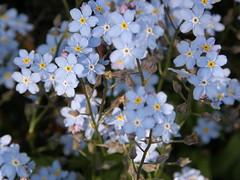blue (lilli2de) Tags: blue light plants sun nature garden licht colours natur pflanzen may forgetmenot blau hellblau sonne garten farben 2010 vergissmeinnicht