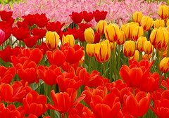 lalelele multicolore (klavier_girl) Tags: flowers red holland tulips coloured lalele flori