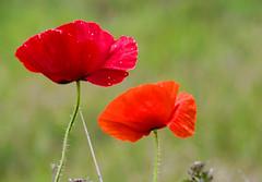 Poppy Pair (stmoritz1960) Tags: flowers red wild nature gardens poppies blooms eastsussex winchelsea winchelseabeach theridge stmoritz1960