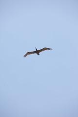 Pelicans - Dauphin Island
