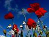 poppy shadows