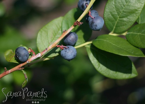 Lake Catherine Blueberries