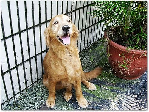「支援與祝福」從新屋收容所救出的黃金獵犬lucy小姐,0622即將債留台灣赴美打拼,需要您的祝福與支援,隨手幫忙轉PO也是非常重要~謝謝您!20100620