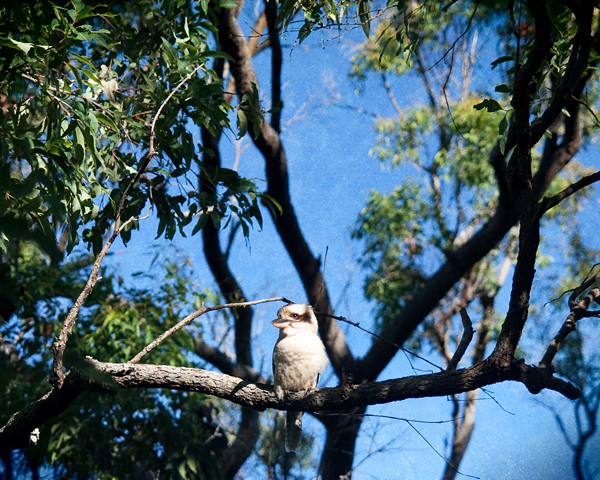 Kookaburra Karragarra1